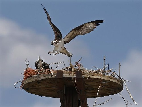 Wildlife group pushes to end bird killing at fish hatchery