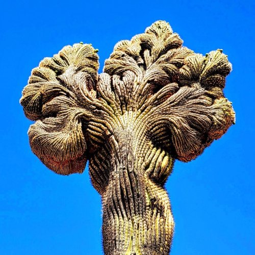 7 Places To Find The Rare And Unusual Crested Saguaro In Arizona - TravelAwaits