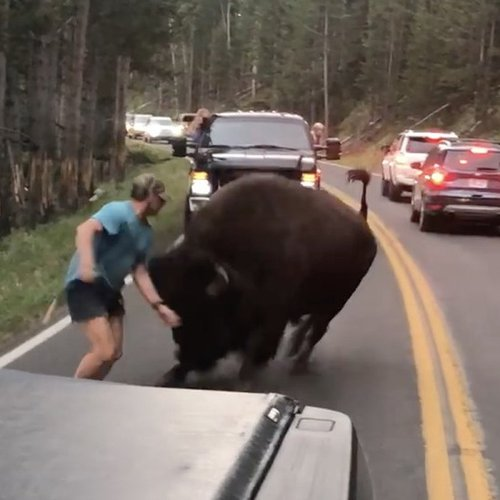 National Park Tourist Who Harassed A Bison Has Since Been Arrested