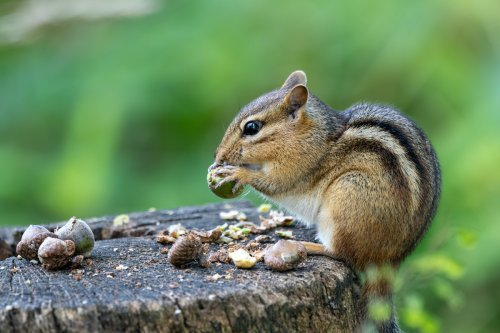 Part Of Lake Tahoe's South Shore Closed After Chipmunks Tested For Plague