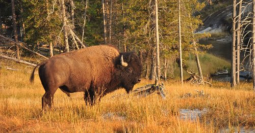 Woman Injured By Bison In Yellowstone National Park - TravelAwaits