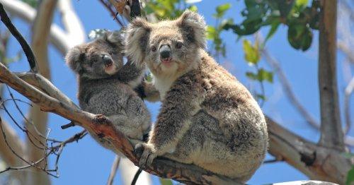 Australia's Beloved Koala Population Cut By A Third Since 2018