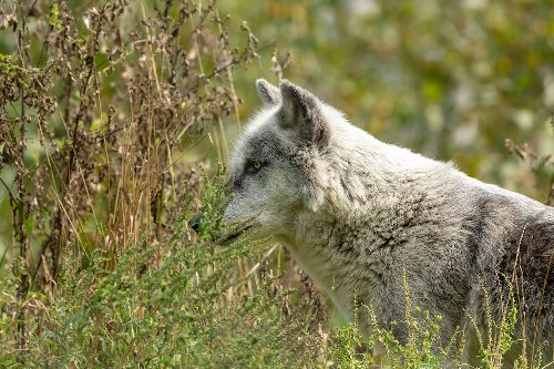 Rare Gray Wolf Pups Born In Colorado, First Time In 80 Years - TravelAwaits