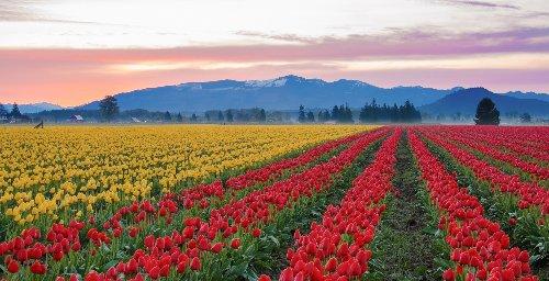 How To Visit Washington's Skagit Valley Tulip Fields