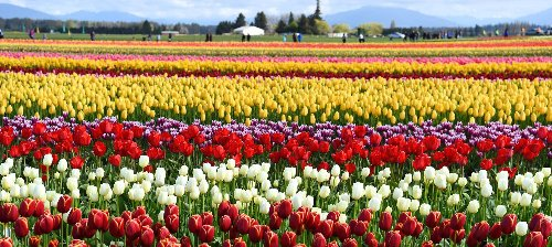 The 8 Best Tulip Festivals In The U.S.