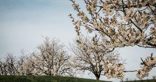 Kirschblütenwanderungen in der Schweiz
