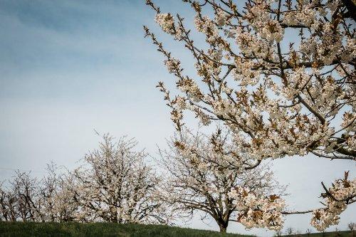 Die schönsten Kirschblütenwanderungen in der Schweiz
