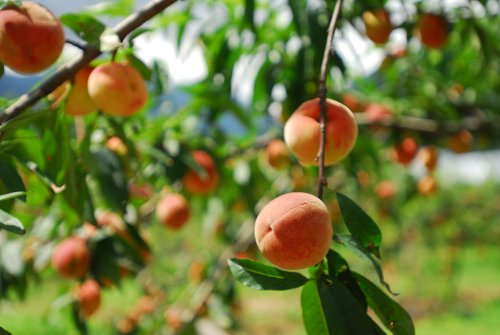Beneficial Plants to Plant Around Fruit Trees