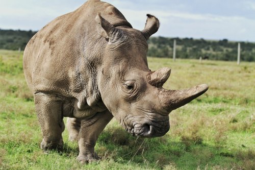 15 Fascinating Northern White Rhino Facts