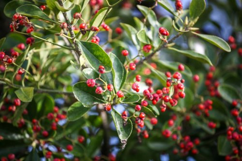 Coffee Substitutes to Grow in Your Forest Garden