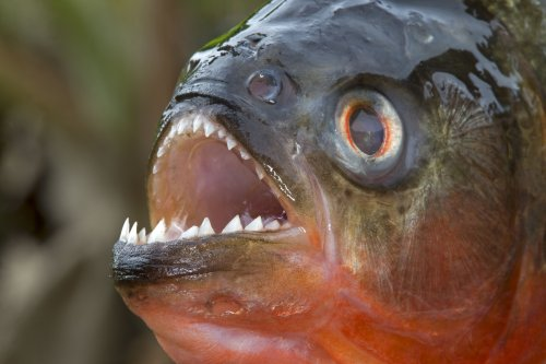 12 Piranha Facts to Sink Your Teeth Into