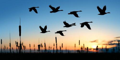 What Is the Migratory Bird Treaty Act?