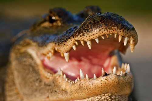 14 Amazing Facts About Alligators
