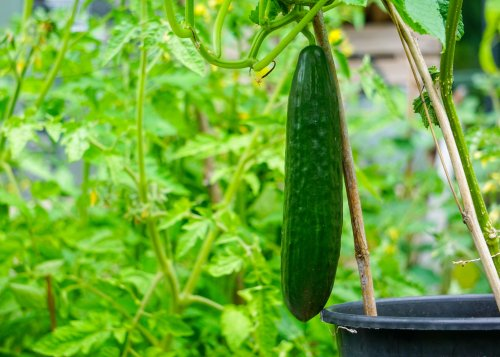 Growing Cucumbers: How to Add Crunch to Your Garden This Season