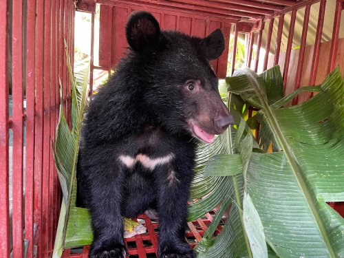 Moon Bear Cub Rescued From Trafficker in Vietnam