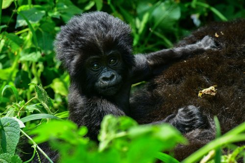 Can We Save Africa's Great Apes?