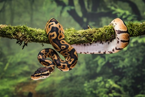 Today's Snakes Evolved From a Few Survivors of Killer Asteroid