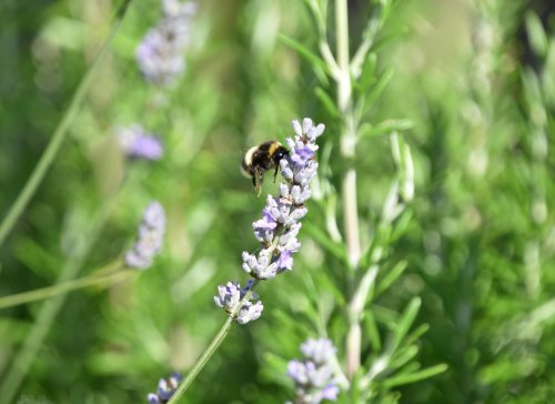 Plant Flowering Herbs to Boost Garden Biodiversity and Beauty