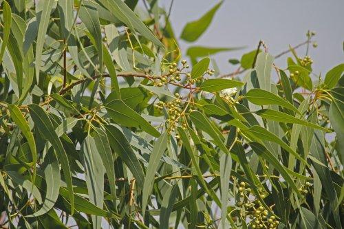 CDC Confirms Oil of Lemon Eucalyptus as Effective as DEET