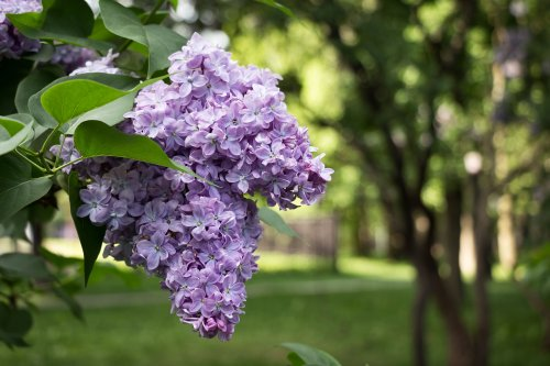 Growing Lilac in Your Backyard: Plant Care Tips