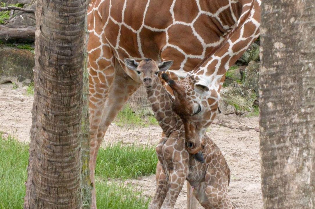 Endangered Reticulated Giraffe Born in Florida Zoo