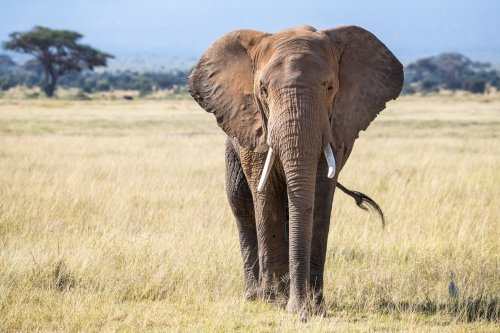 African Elephant Range Is Just 17% of What It Could Be