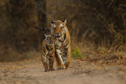 Types of Tigers: 3 Extinct, 6 Endangered