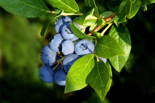 How to Grow Blueberries: Your Go-To Guide for Plant Care