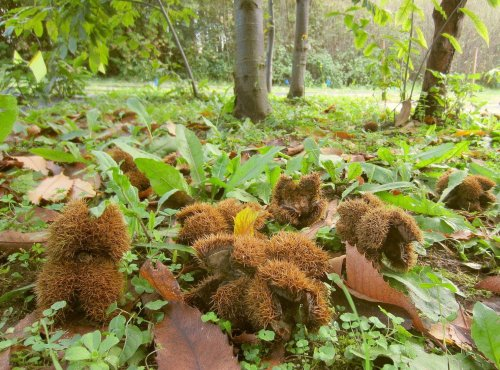 Can biotechnology save the American chestnut from extinction?