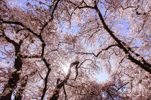 The Best Places to See Cherry Blossoms in Seattle