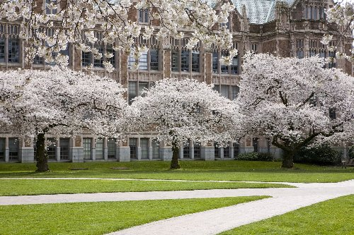 How to View Cherry Blossoms From Home