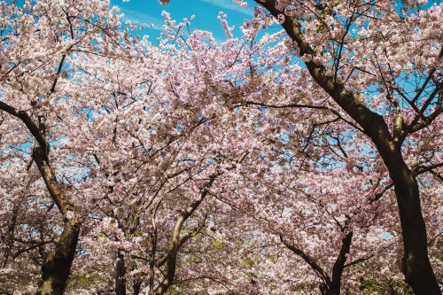 The Complete Guide to Washington D.C.'s Cherry Blossoms
