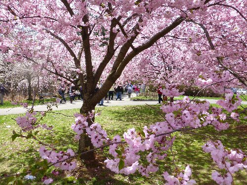Forget D.C.: This Newark Park Has the Most Cherry Blossoms in the Nation