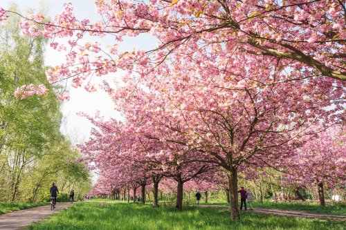 Where to See the Cherry Blossoms in Germany