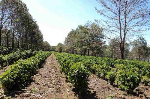 Сильные холода нанесли значительный ущерб кофейным плантациям Бразилии