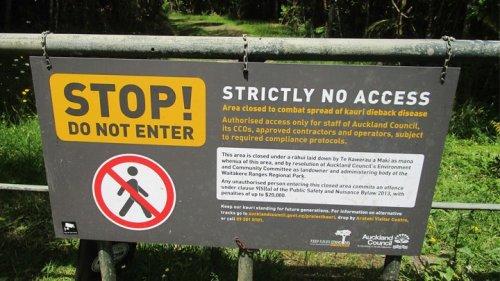 Aucklander fined for defying kauri dieback rāhui