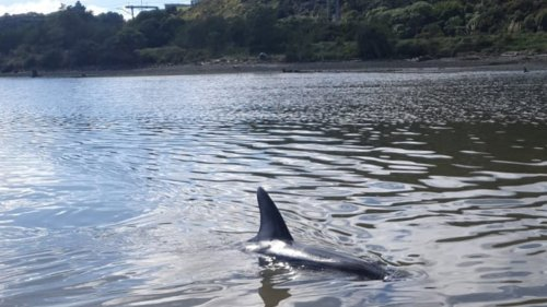 Pod of dolphins strand in Porirua Harbour