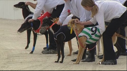 Harsher penalties being weighed up for trainers who mistreat greyhounds