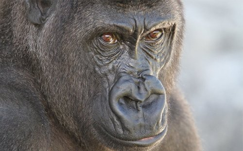 New Zealand's youngest gorilla dies at Christchurch wildlife park