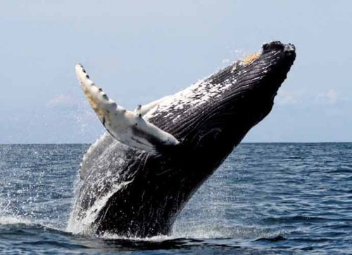Diver Michael Packard Escapes After Almost Being Swallowed By Humpback Whale