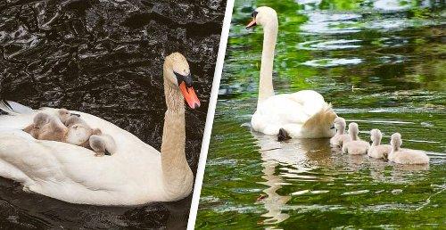 Single Dad Swan Raises Babies After Tragic Loss Of Mum Swan