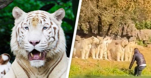 Crazy Zoogoer Confronts 11 White Tigers After Jumping Out Of Car