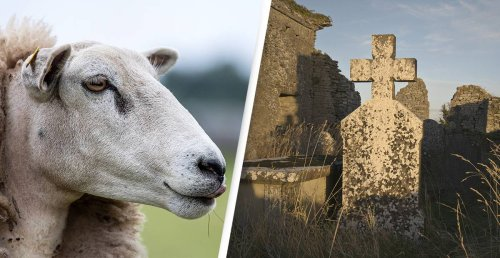 Sheep Are Being Hired By Cemeteries To Uncover Historic Graves