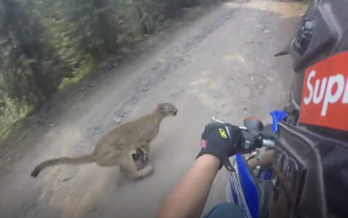 Oregon Dirt Biker Nearly Collides With Mountain Lion