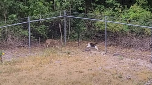WATCH: House Cat Scares-Off Mangy Coyote