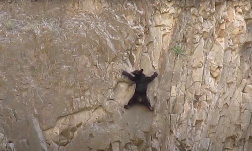 Start Your Day With Incredible Rock Climbing Black Bears