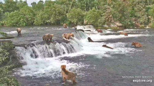 Webcam Captures 17 Bears Feasting On Salmon In Alaska