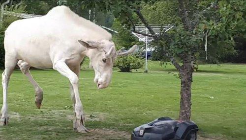 Albino Moose Fights Lawn Mower Robot