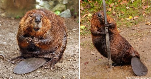 The Boogie Down Beavers of NYC's Bronx River - Untapped New York