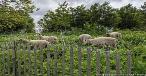 Meet The Sheep On Governors Island This Summer - Untapped New York